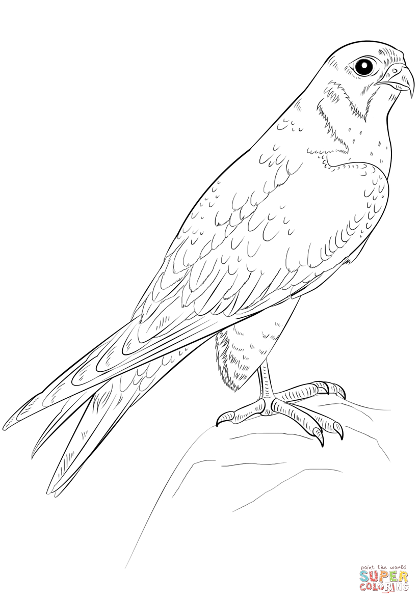 Falcon Coloring Pages Peregrine Falcon Coloring Page Free Printable Coloring Pages