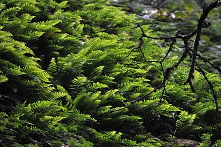 Ferns at Wahkeena
