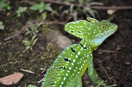 """Emerald Basilisk aka """"Jesus Christ Lizard"""""""