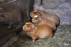 Guinea Pigs...
