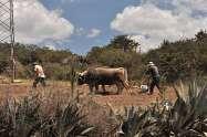 Peruvian Farmers Are Still Using Ox, Yoke, and Hand Plow