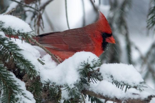 March 5 2015 Snowbirds-015
