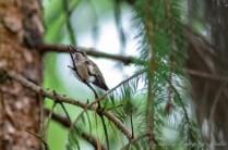 Hummingbirds 2018 - 03