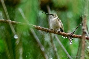 Hummingbirds 2018 - 05