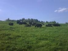 Yaks on pasture