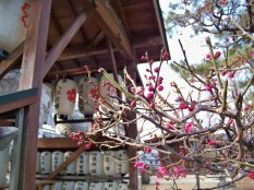 The very first plum blossoms of spring! 春の最初の梅花です!