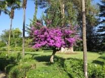Undurraga Winery. I've never seen a bougainvillea tree before. Just beautiful.