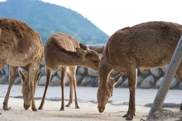 dave_yan_torii_deer2_japan_pt2