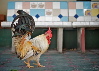 dave_yan_rooster_chiangmai1