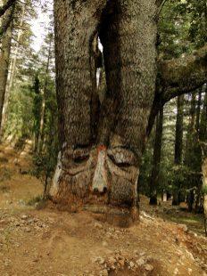 Un arbre personnifiant la tristesse dans le parc d'Ifrane, au Maroc.