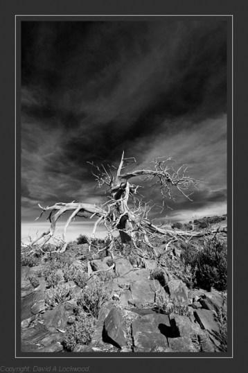 Dead tree Shams 2