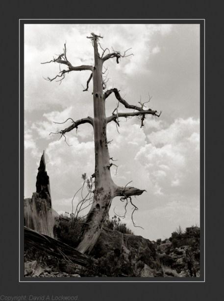 Tree at Shams copy