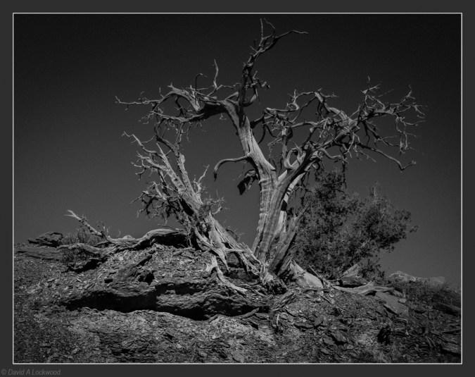 Old Tree - Shams