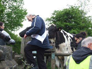 Negotiating some Ribble Valley cows