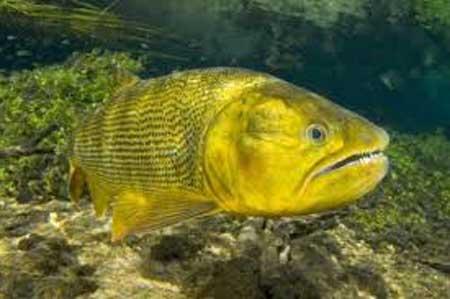 peixe-dourado-o-que-significa