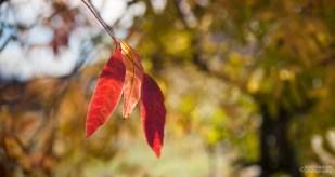 Three Orange Leaves