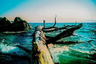 Ponderosa Pine, Chimney Beach, Nevada (Kodak EliteChrome EB film, process C-41).