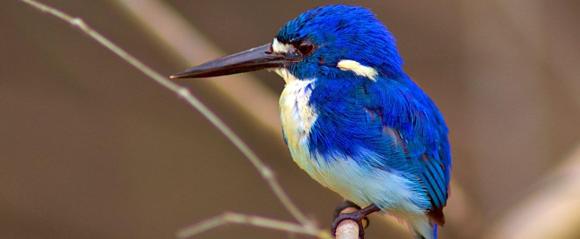 Little-Kingfisher---N