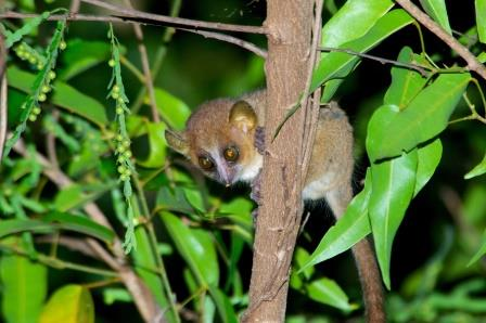 Golden Mouse Lemur