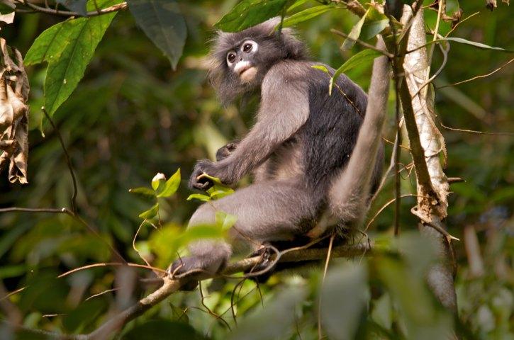 Banded Leaf Monkey Thailand