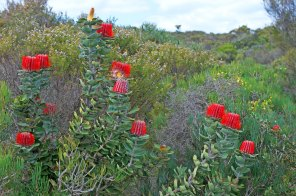 Banksias Western Australia