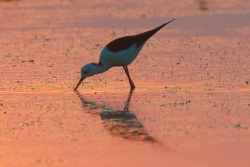 Black-winged Stilt at dawn Thailand