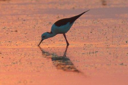Black-winged Stilt at dawn Thailand