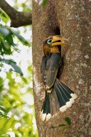 Brown Hornbill attending its nest hole Thailand