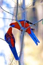 Crimson Rosellas Australia