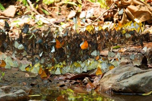 Forest Stream Butterflies