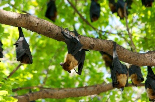 Lyles Fruit Bat