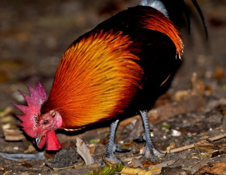 Male Red Junglefowl Thailand