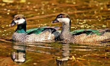 Pygmy Geese Australia