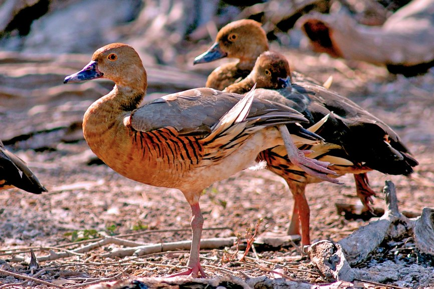 Plumed Whistling Duck Australia and New Guinea