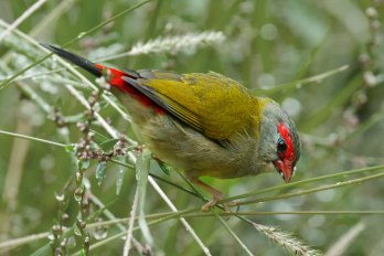 Red Browed Finch Australia