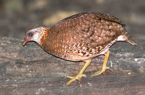 Scaly Breasted Partridge Thailand