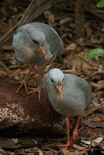 The Kagu, a monotypic family endemic to New Caledonia