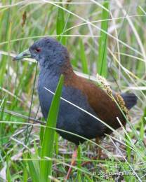 Black Tailed Crake