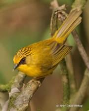 Golden Babbler
