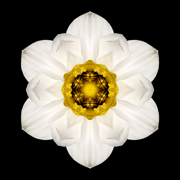 White and Yellow Daffodil I flower mandala