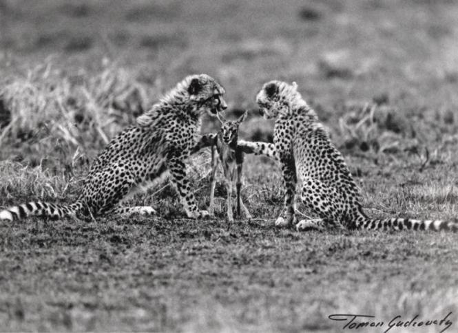 Gudzowaty cheetahs photo