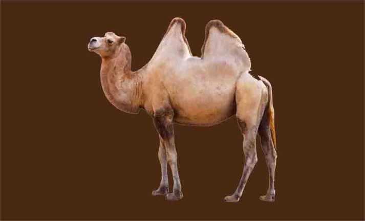 Camelos coleção imagens transparentes PNG