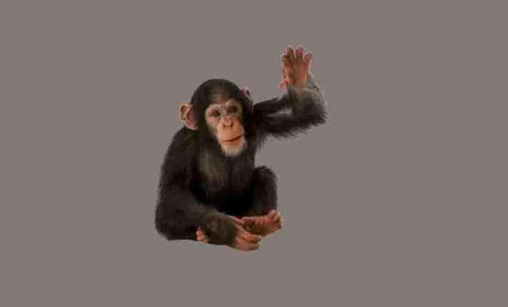 Macacos coleção imagens transparentes PNG
