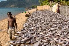 I pesci pescati con le reti durante la notte sono destinati all'alimentazione delle popolazioni locali e dei villaggi rurali del Malawi. Questo pesce è la fonte di apporto proteico più economica e più utilizzata in Malawi, poiché la carne ha costi spesso proibitivi per queste popolazioni fra le più povere del mondo. Il pesce viene essiccato al sole su tralicci di fibra vegetale e controllato a vista dai bambini che hanno il compito di allontanare corvi e cani randagi, sempre alla ricerca di cibo. Il processo di essiccazione dura alcuni giorni dopodiché il pesce viene portato, spesso in bicicletta, nei villaggi circostanti distanti anche decine di chilometri e venduto al mercato locale per pochi centesimi.