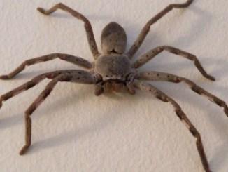 araignée australie