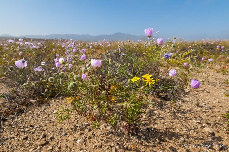 Desierto Florido, Carrizal Bajo, Chile