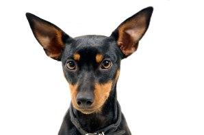 dwarf pinscher british toy terrier © David Hamilton Melby