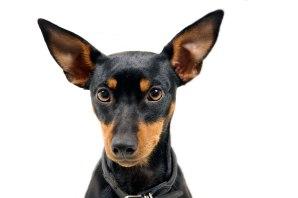 dwarf pinscher british toy terrier © David Hamilton Melby