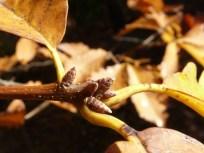 chestnut-oak-buds