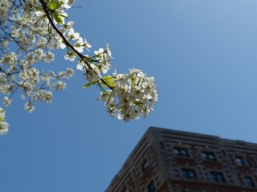 2014-04-16-callery-pear